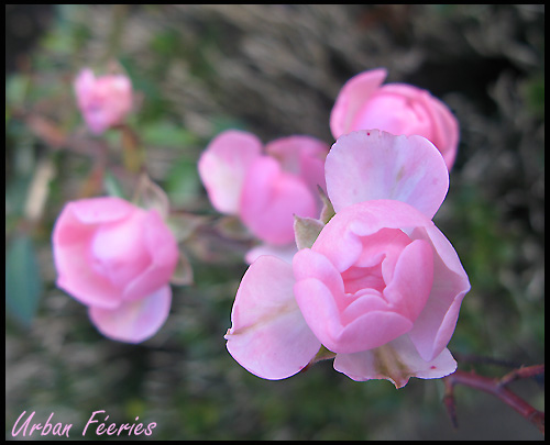 les roses du parc de versailles